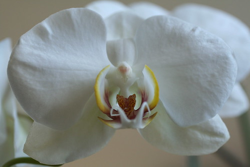 Purely Orchid