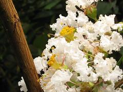 looking through your eyes (ii) [explore#434] (DOLCEVITALUX) Tags: flowers white canon is 110 powershot stamen pollen soe stalk sx blueribbonwinner supershots anawesomeshot impressedbeauty pastils theperfectphotographer goldstaraward