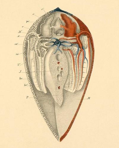Mollusca h