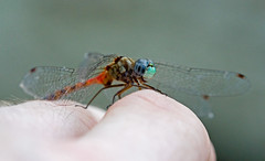 (tenncyclist) Tags: dragonfly blueribbonwinner specnature