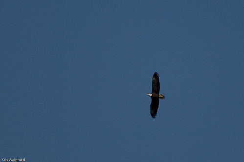 Bald Eagle over Neuse River