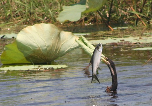 another view of Darter with fish