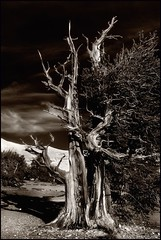 ancient tree in monochrome (jody9) Tags: california tree sepia moonscape pentax67 mediumformatfilm ancientbristleconepineforest thesetreesarethousandsofyearsold