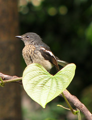 Magpie Robin (wildxplorer) Tags: india robin birds canon birding karnataka mangalore backyardbirds magpierobin canonpowershots3is krayker wildxplorer