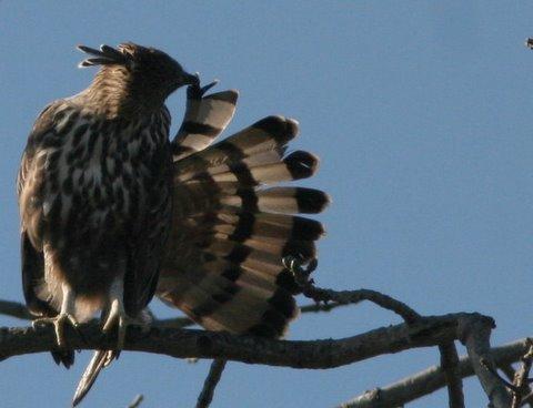changeable hawk eagle preening