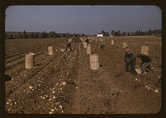 Children gathering potatoes on a large farm, vicinity of Caribou, Aroostook County, Me. Schools do not open until the potatoes are harvested. (LOC).