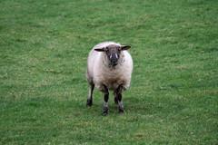 I love grass me! (talltinymoos) Tags: wool sheep baa