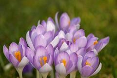 Evidence of Spring (rab36) Tags: flower macro green colors germany spring violet crocus blume karlsruhe krokus frühling botanischergarten catchycolorsviolet