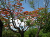 Tree With Orange Flowers (Bradfordian Cliff) Tags: philippines palawan floweringtree crocodilefarm palawanwildliferescueandconservationcenter