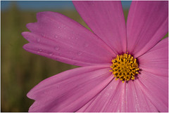 """wet cosmos (Lex""""i""""con) Tags: sony waterdrops cosmos a100"""