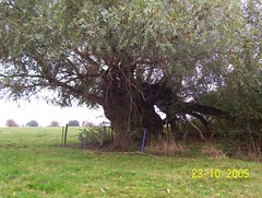 giant crack willow 2 (Gaia6) Tags: yorkshire londesborough crackwillow