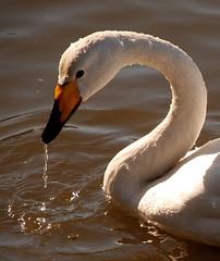 Swan (Ingibjrg H) Tags: bird nature water swan megashot