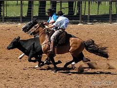 Cavalo Crioulo - Provas de Paleteada (Adaly Pinheiro) Tags: horses brasil cavalo riograndedosul alegrete crioulo frenteafrente