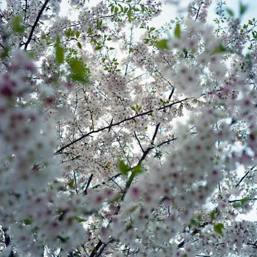 cherry blossom taken by flexaret