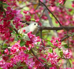 Titmouse in crabapple(1)
