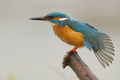 Kingfisher (Alcedo atthis) (m. geven) Tags: man male nikon bravo kingfisher stretching d300 alcedoatthis blueribbonwinner ijsvogel supershot eisvogel specanimal animalkingdomelite 200400vr colorphotoaward avianexcellence thegardenofzen goldwildlife goldenpalmaward photoexel