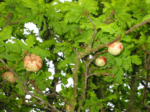 oak apples