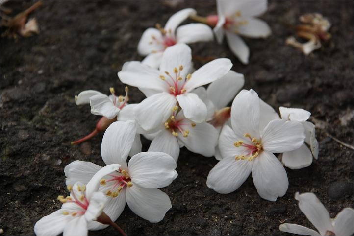 土城賞油桐花11