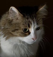 STROBIST cat (Luc Deveault) Tags: light canada reflection animal chat quebec qubec luc catchlight catr strobist bestofcats photoquebec deveault lucdeveault