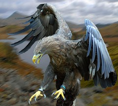 White Tailed Sea Eagle Set Free (Steve Wilson - classic view please) Tags: sea bird photoshop nikon eagle raptor prey d200 predator avian birdofprey seaeagle whitetailedseaeagle nikond200 vigilantphotographersunite vpu2 vpu3 vpu4 vpu5 vpu6 vpu7 vpu8 vpu9 vpu10