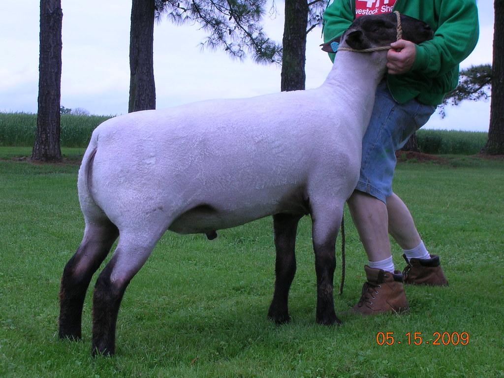 Cummins, Ellerbrock, Fair oaks, rill lamb sale 001