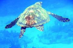 Turtle (Santas little helper) Tags: blue turtle honduras diving roatan marinelife