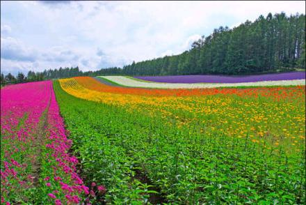 lavendar farm2