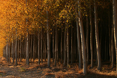At the edge of the golden grove (walla2chick) Tags: autumn trees usa fall golden grove or trunks poplars naturesfinest umatilla 6802 theperfectphotographer
