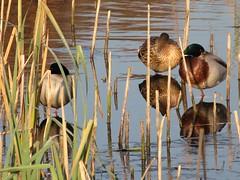Wandeling Bikkelsroute te Deurne (ToJoLa) Tags: nature water canon landscape ilovenature groen herfst ducks eenden deurne canong7 photonow bikkelsroute