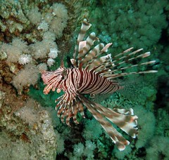 Lionfish (sciack) Tags: underwater redsea sharmelsheikh marrosso rasummsid