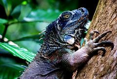 Costa Rican Iguana (Maron) Tags: tree green animals rainforest costarica iguana reptiles supermarion marionnesje