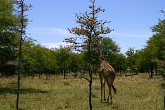 serengeti girafe05 (VanEtNico) Tags: serengeti girafe tanzanie