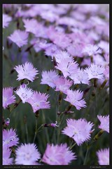 field of purple (IONclad) Tags: flowers ian magenta dianthus davis pinks gratianopolitanus ionclad