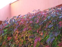 Jungfernrebe: Gewhnliche Jungfernrebe 2409200710 (bossco139) Tags: autumn herbst wein parthenocissus wilderwein jungfernrebe