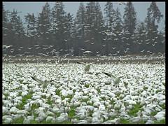 Snow Geese (MistyDays / CB) Tags: winter wild snow bird nature birds animal animals geese washington natural wildlife olympus western skagit snowgeese e500 naturesfinest firisland charleneburge stormygirl wintermigration