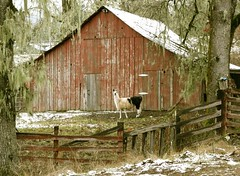 Red Barn & Llama in Snow (judi berdis) Tags: snow tree fog barn llama nca willits mendocinocounty littlelakevalley golddragon