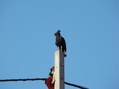 Crested Eagle (Harry390) Tags: birds rwanda floraandfauna