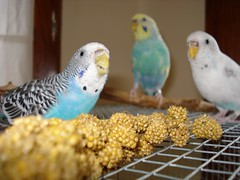the feast (johnsadowskiii) Tags: madness budgie parakeets millet