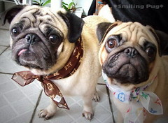 *SMILING PUG* - HAPPY VALENTINE'S DAY, FROM THE SWEETHEART PUG, MEL C & BUGBABY *-* (*SMILING PUG*) Tags: b dog bunny love smile smiling thailand happy holidays bangkok c smiles pug valentine mel valentines pugs buggy puggy k9 bambam    bugboy  bugbaby smilingpug