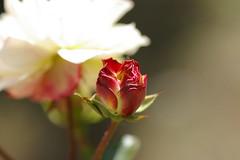 蕾と、白いままの花