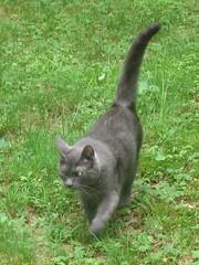 Green yard, Green eyes :) (Leya :P) Tags: cats green cat russianblue kissablekat