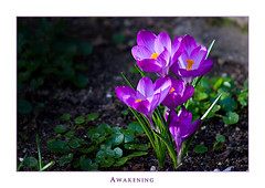 Awakening II (Philipp Klinger Photography) Tags: light shadow sun plant flower yellow spring awakening violet crocus dcdead
