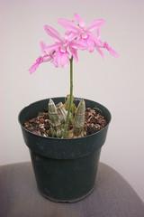 Calanthe rosea (dwittkower) Tags: orchid flower flora orchids orchidaceae species calanthe orquideas orchidée orqudea