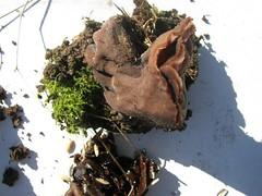 big mushroom stem