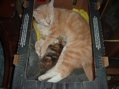 hi uncle tweety,can i nap with you (boopers rescued cats) Tags: cats cute kittens felines playingkittens