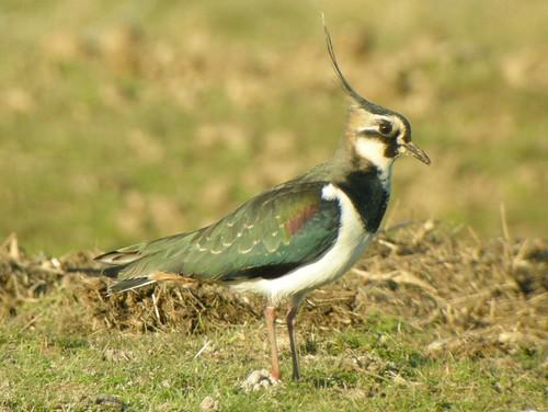 Lapwing, Salthouse (Norfolk), 10-Feb-08. Фотографировать птиц не так сложно, как может показаться сначала.
