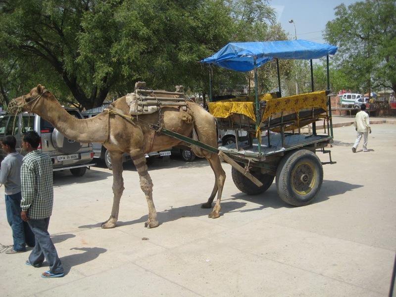 camel...really!.JPG