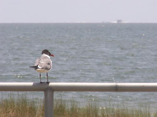 Contemplative Gull