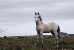 Wild Horses (djemde) Tags: travel wild horses wales 2008 galope preselihills pentaxk10d