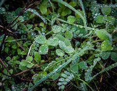 Rocío verde (grego.es) Tags: 2015 a700 aracena carlzeiss1680 huelva sonyalpha cascadas castaños flores hojassecas noviembre otoño rocío senderismo sierra wwwgregoes árboles